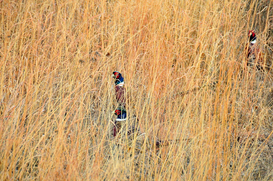 Ring necked Pheasant Roosters in Big Bluestem 1