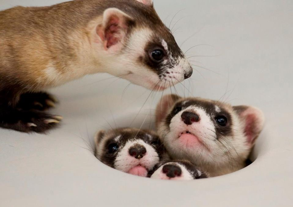 Mama Ferret Counts her Kits