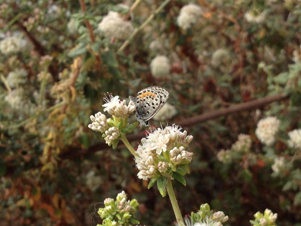 El Segundo blue butterfly (Euphilotes battoides allyni)