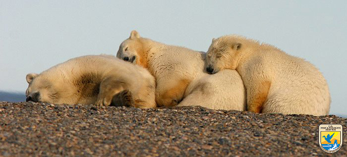 Polar bears snuggling, Arctic National Wildlife Refuge