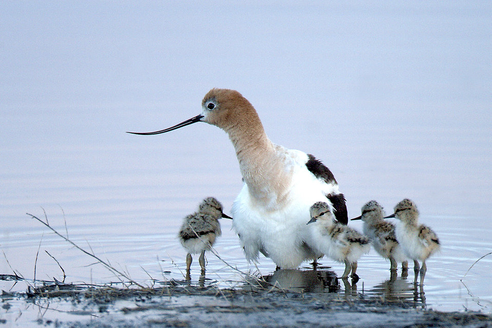 American Avocet & chicks on Malheur Refuge