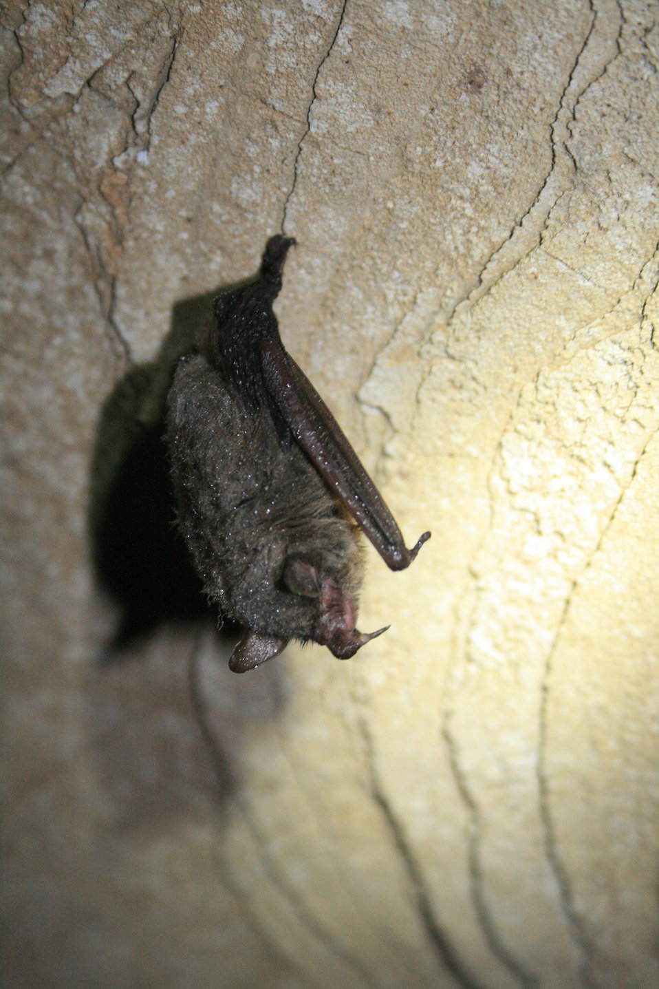 healthy hibernating Indiana bat