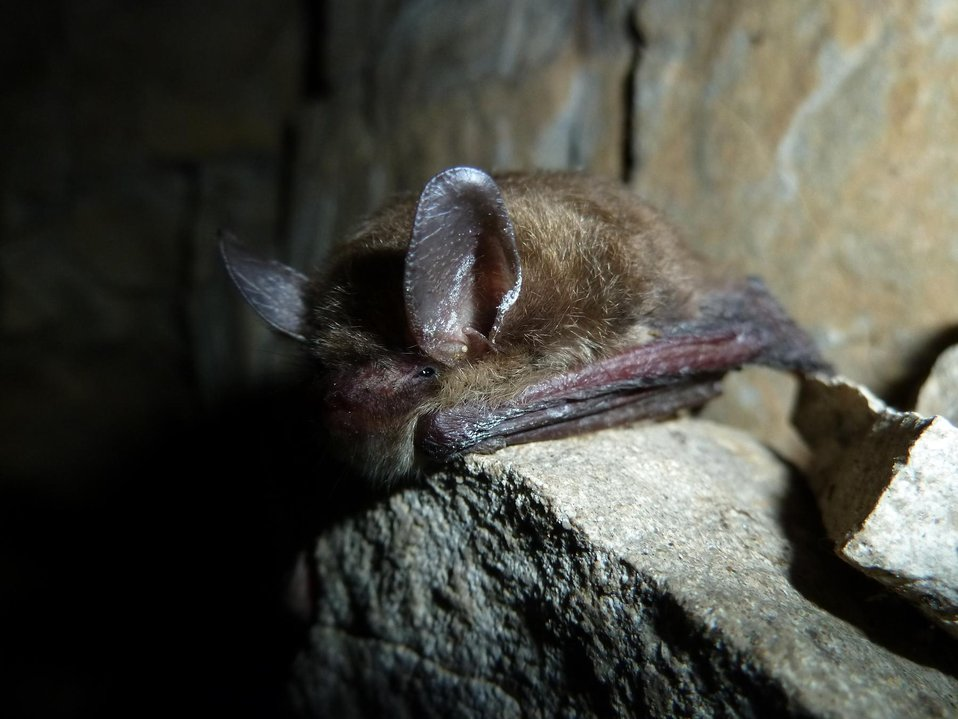 Northern long-eared bat with visible symptoms of WNS