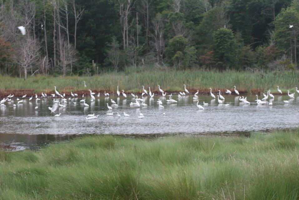 Flock of Egrets in the Marsh