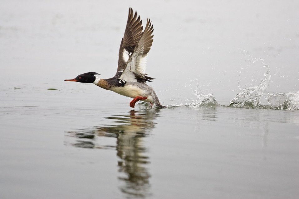 red-breasted merganser takes flight