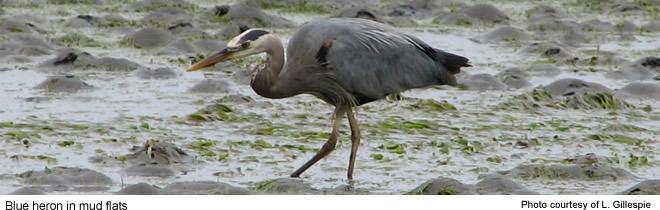 Blue heron - Willapa NWR