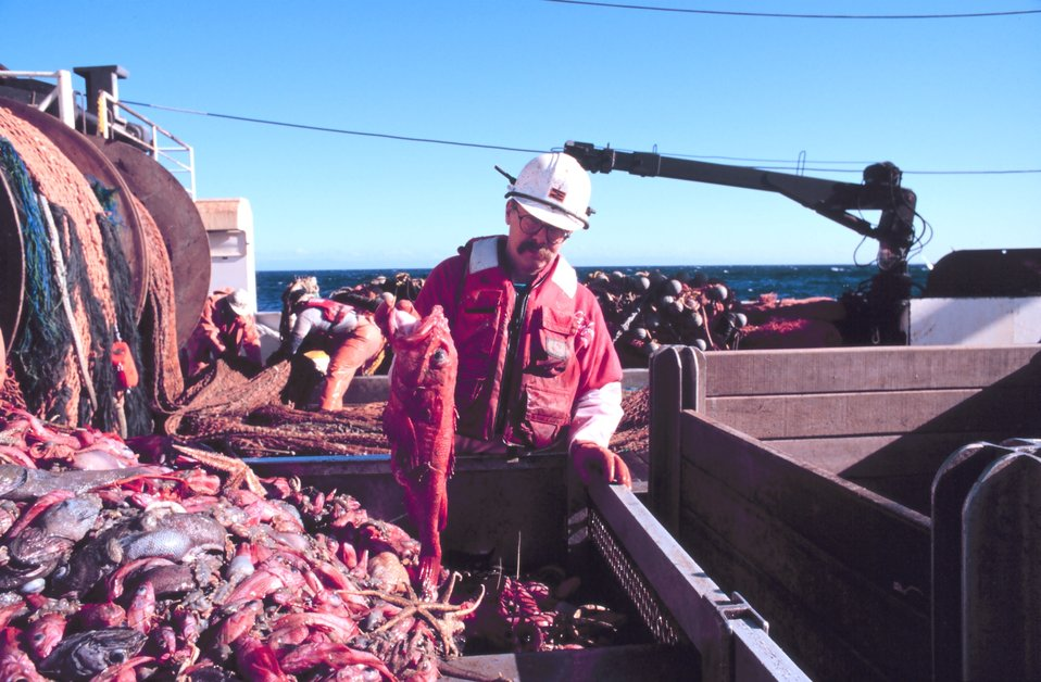 Scientist sorting the catch after being dumped in the checker from the cod end of the trawl.