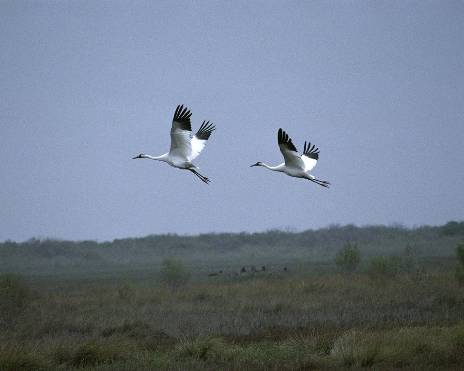 Whooping cranes over Aransas Refuge
