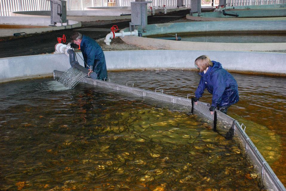 Crowding the Atlantic Salmon