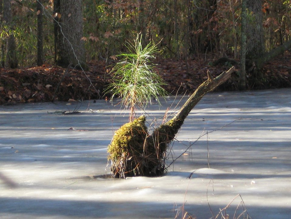 Little Pine Tree On Icy Pond