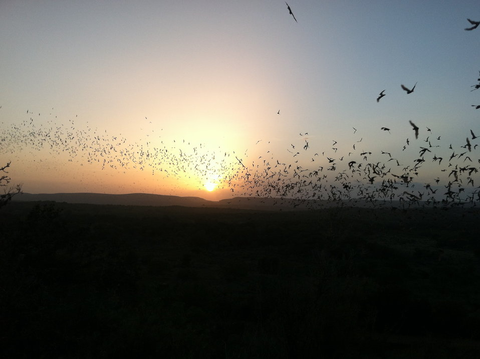 Bats flying into Texas sunset