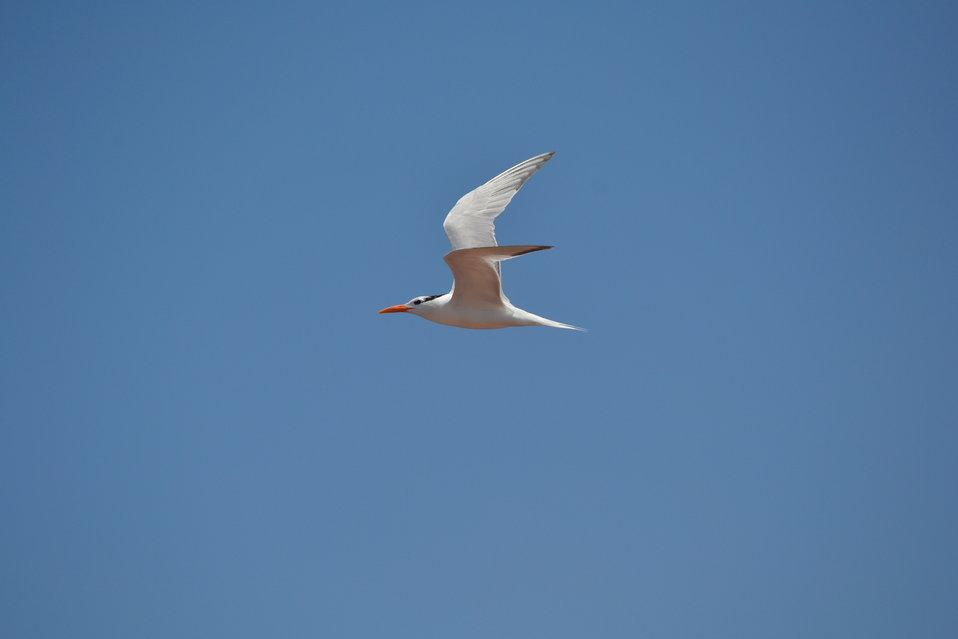 Adult non-breeding Royal Tern (Thalasseus maximus)