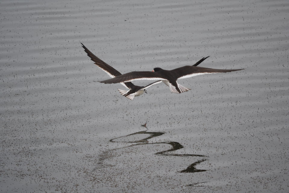 Black skimmers (Rynchops niger) gliding gracefully