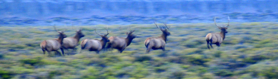Bull Elk Slipping Away Before Sunrise at Seedskadee National Wildlife Refuge