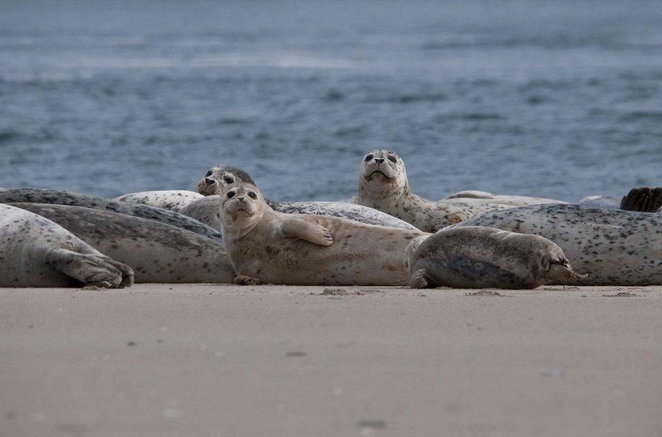 Harbor Seals, Oregon Coast national wildlife refuges