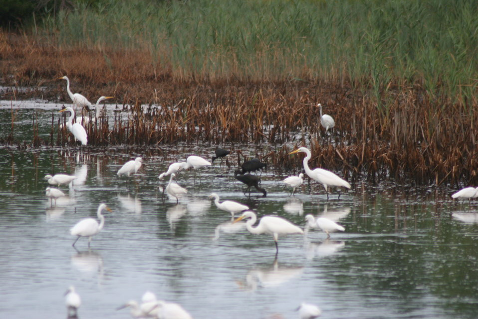 Egrets and Ibis