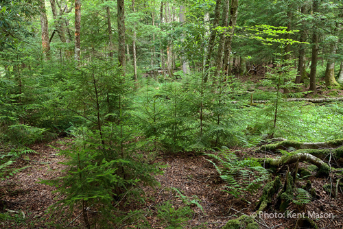 Red Spruce Understory