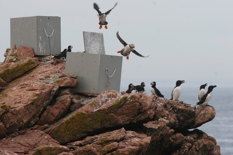 Puffins Flying Over Capture Boxes