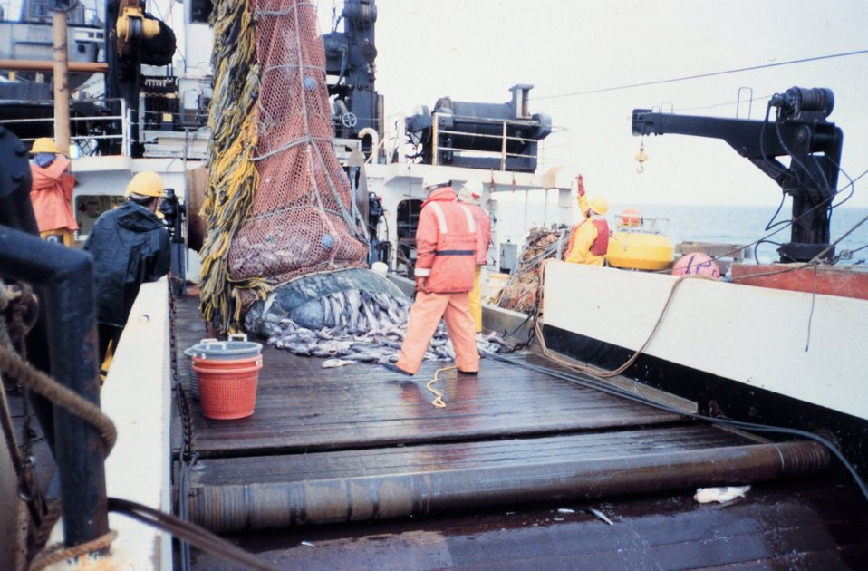 Emptying cod end of trawl on deck to ready catch for sorting and sampling.