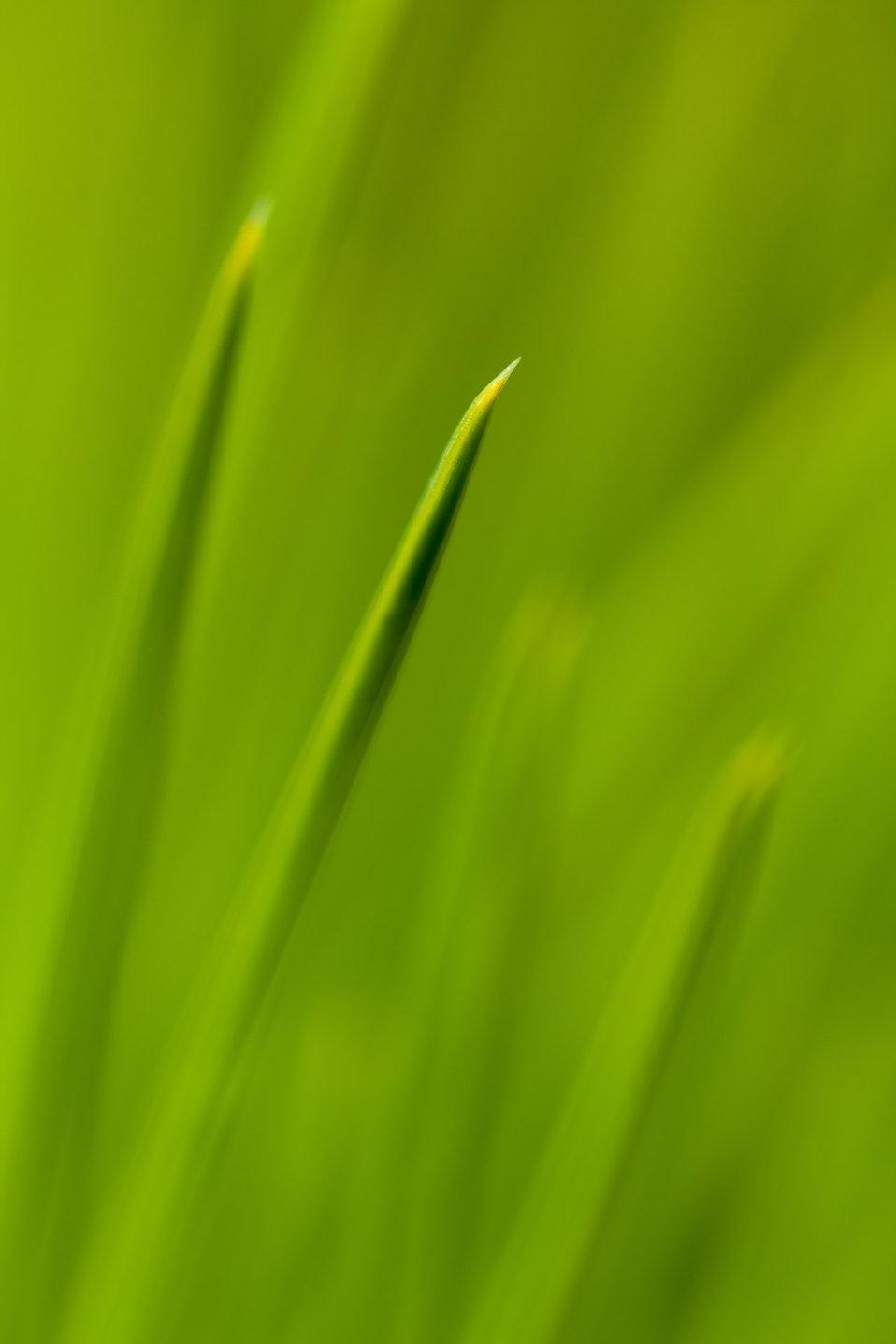 Macro pine needles