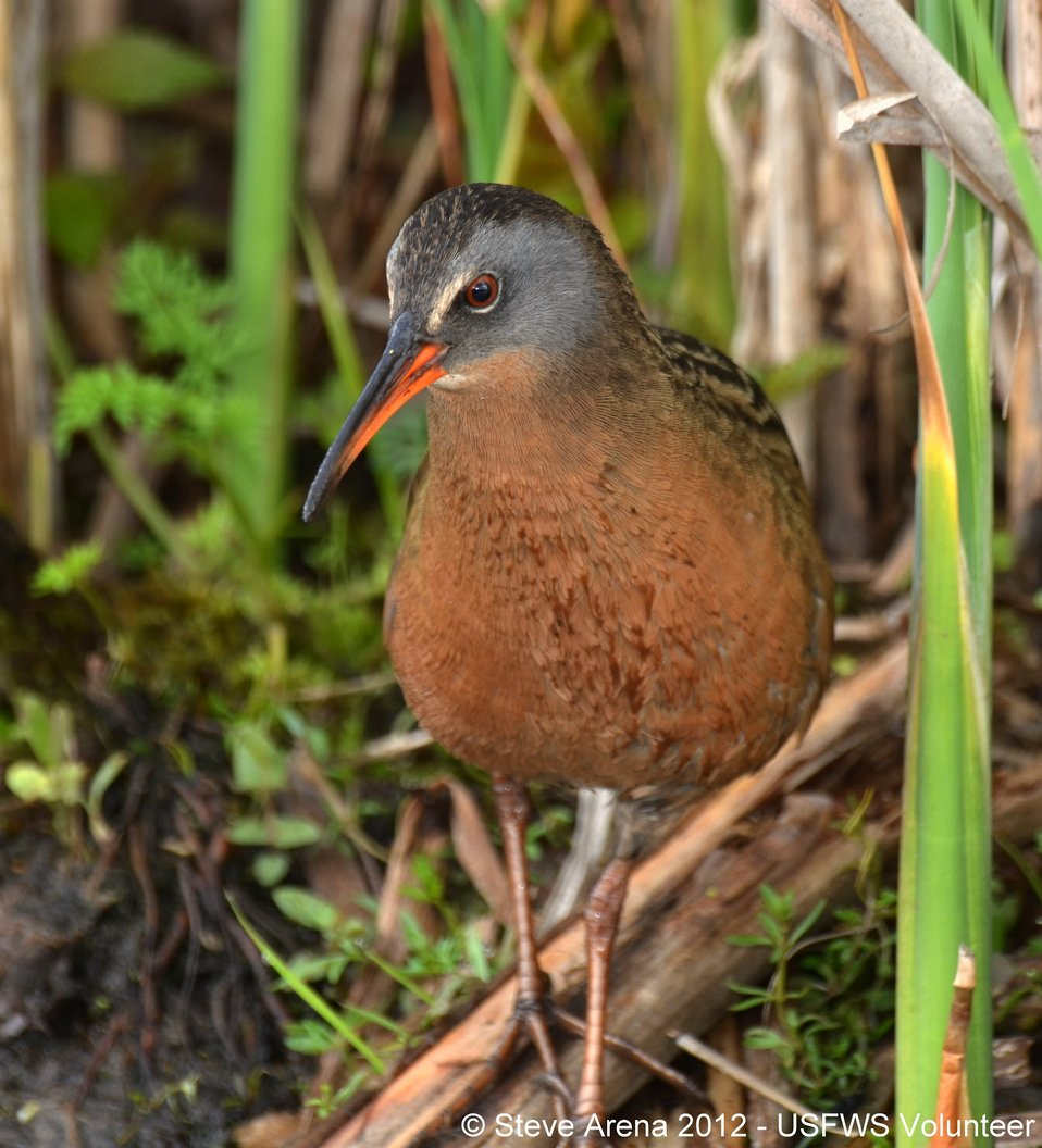Virginia Rail (Rallus limicola) Upper Pool Marshbird Survey 06 May 2012