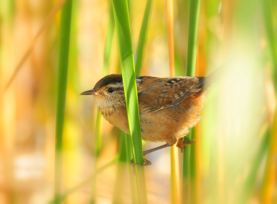 Marsh Wren Sand Lake WMD