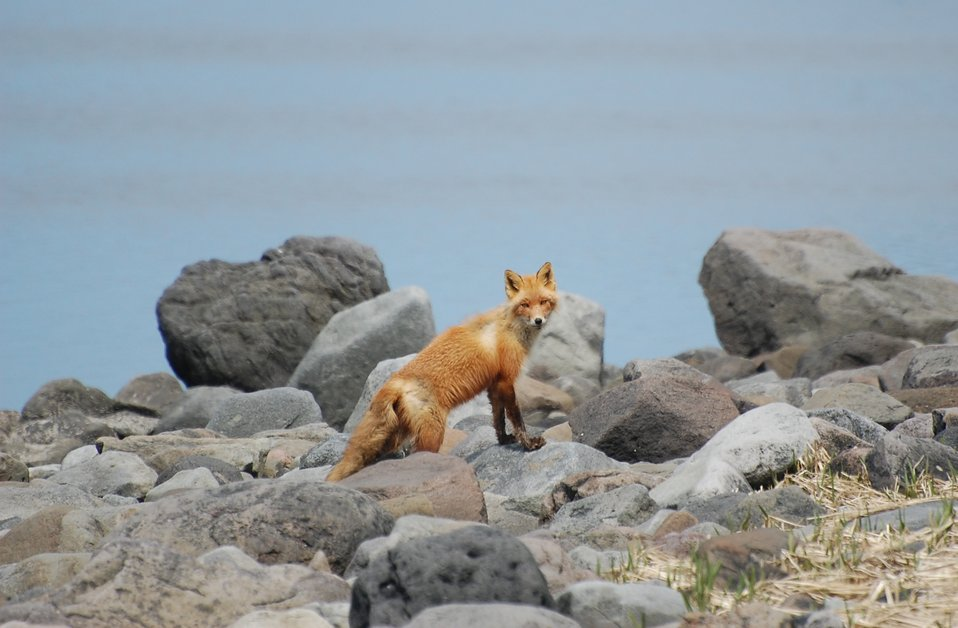 Red Fox at Izembek Lagoon
