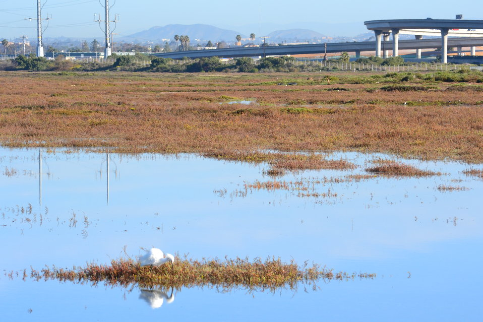 Egret hunts within the marsh, coexisting with human industrialization nearby