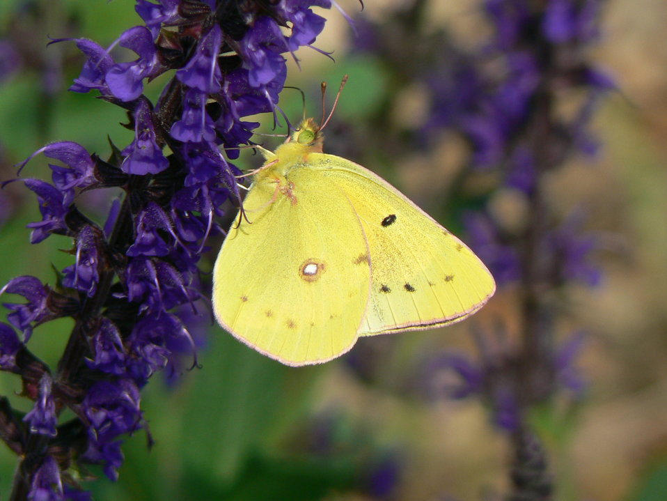 Clouded Sulphur on Salvia