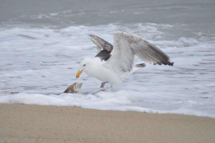 Great Black-Backed Gull Eating Flounder