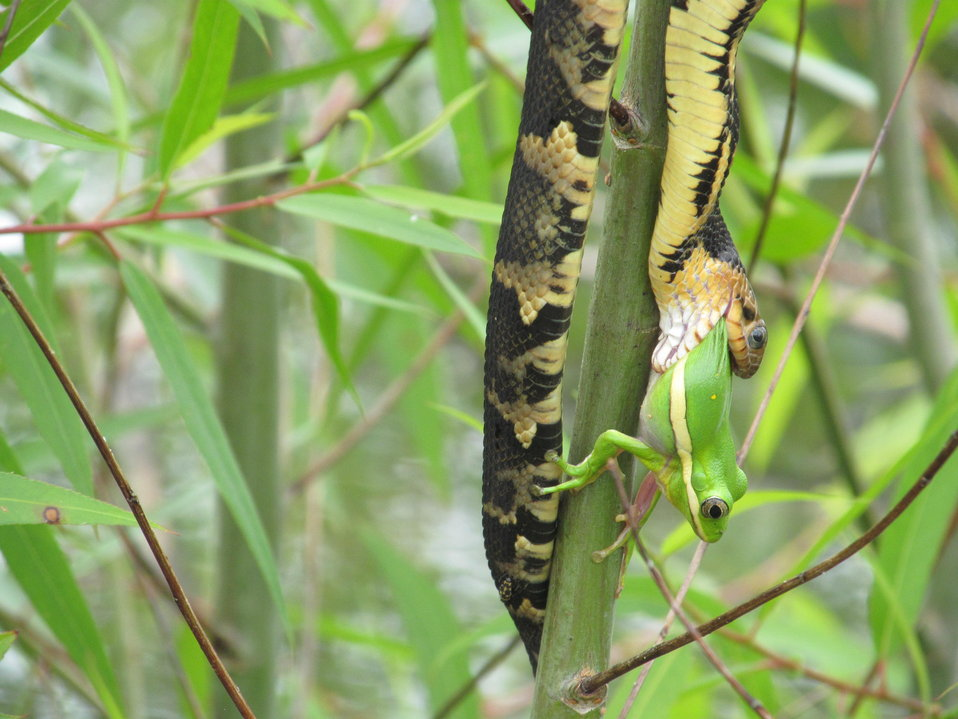 A broad-banded water snake eats a green tree frog at Mingo National Wildlife Refuge