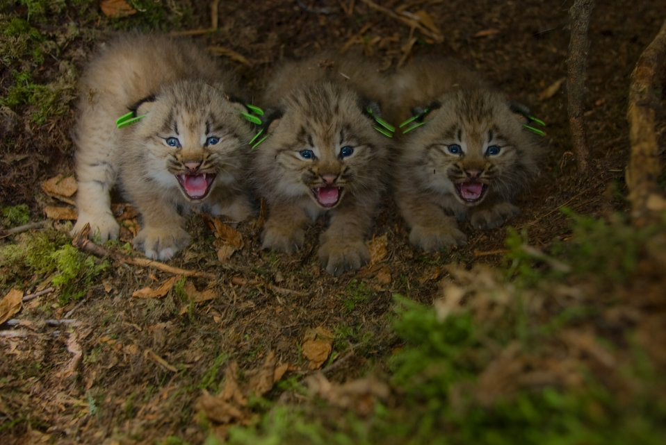 Photo of the Week - Canada Lynx kittens
