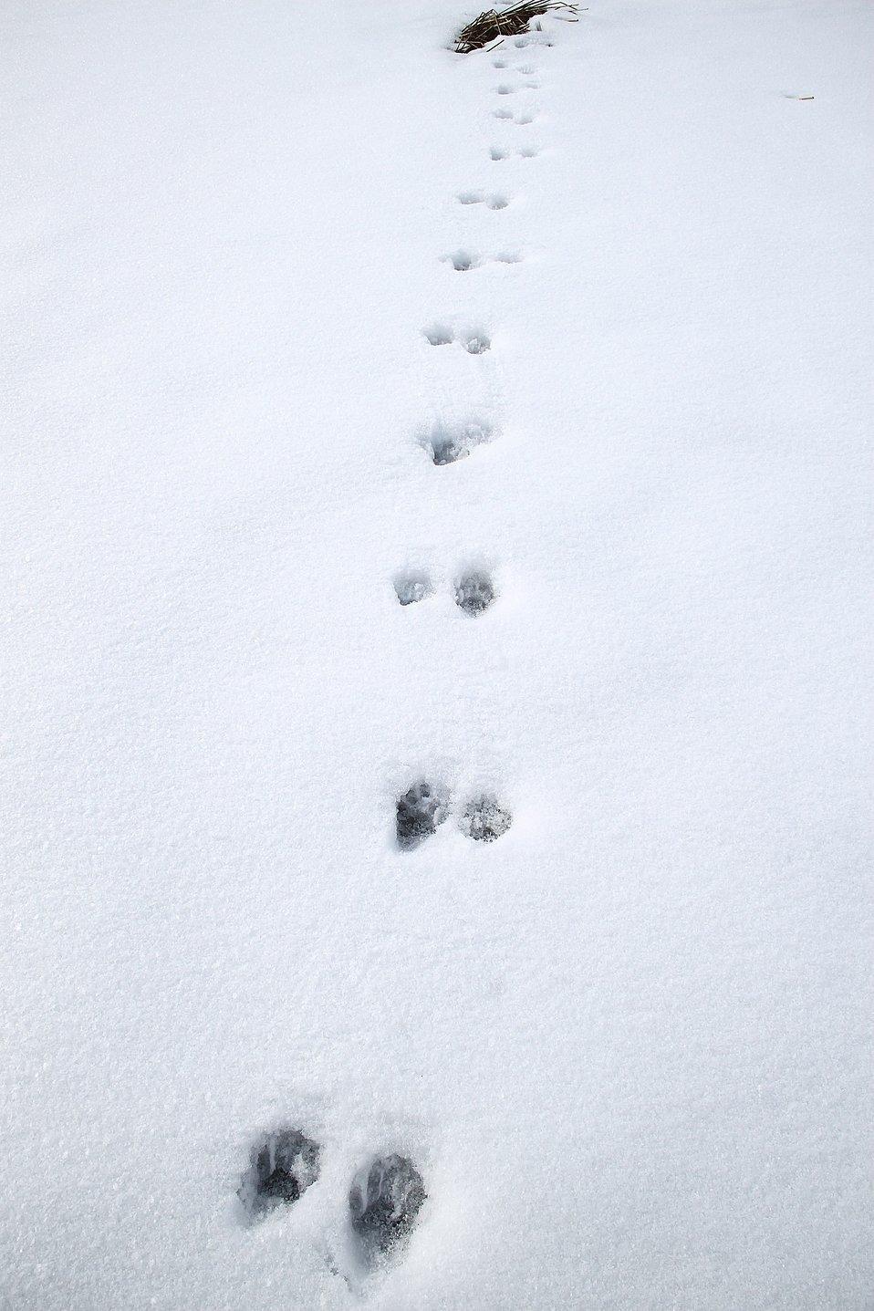 Weasel tracks