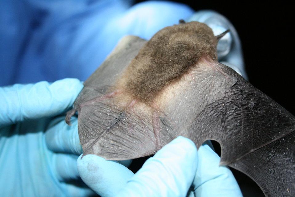 MDC biologist inspects bat