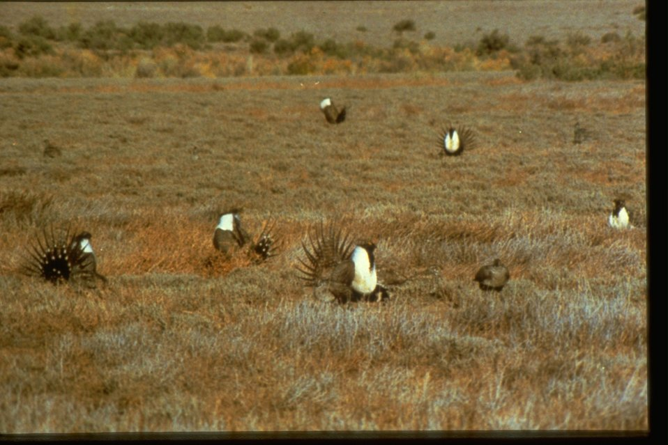 Many Sage Grouse in a field.