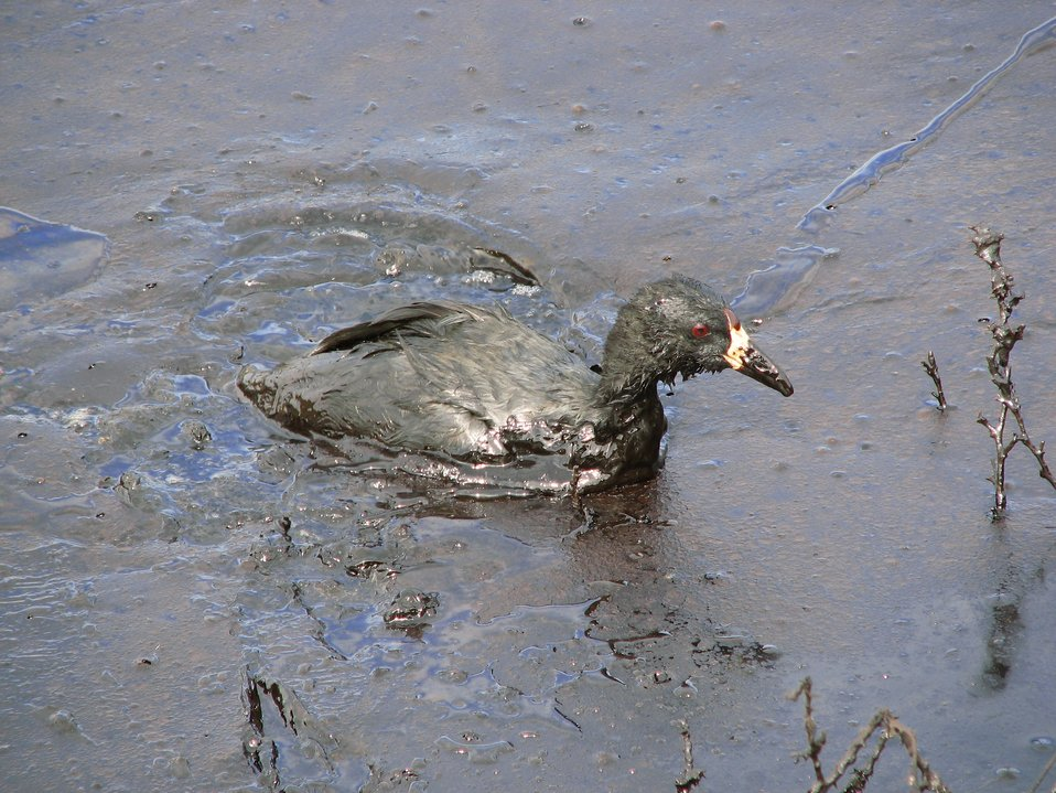American Coot Covered in Oil