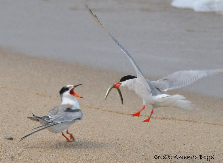 common tern feeds its young