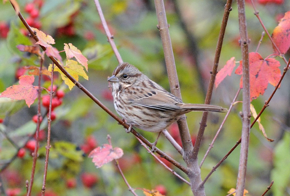 Photo of the Week - Song sparrow (MA)