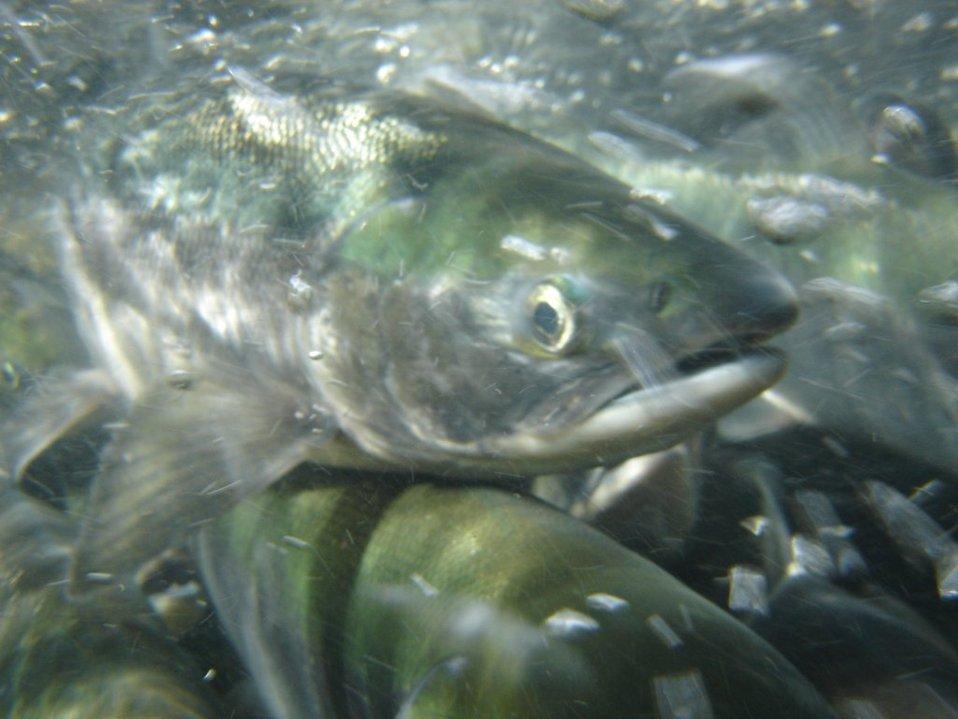 Salmon Sockeye school