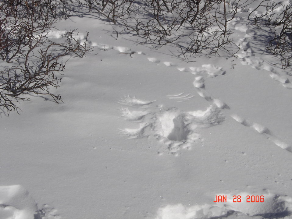 White-tailed Ptarmigan Snow Prints