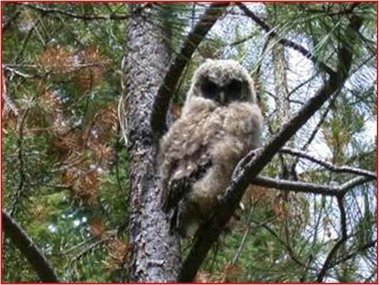 Juvenile Spotted Owl