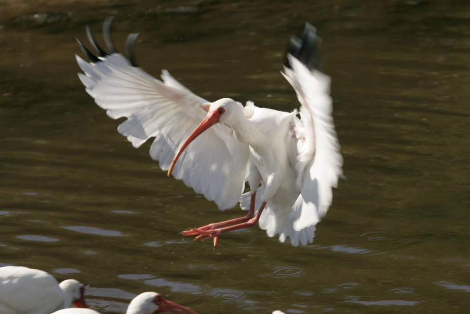 White Ibis, J.N. 'Ding' Darling NWR