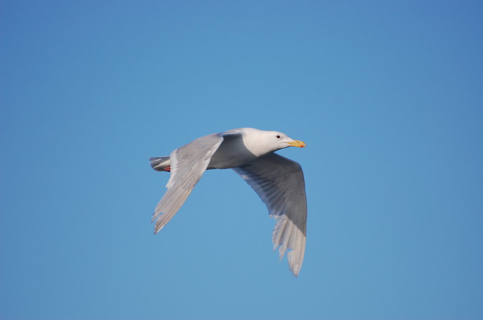 Adult Glaucous-winged Gull