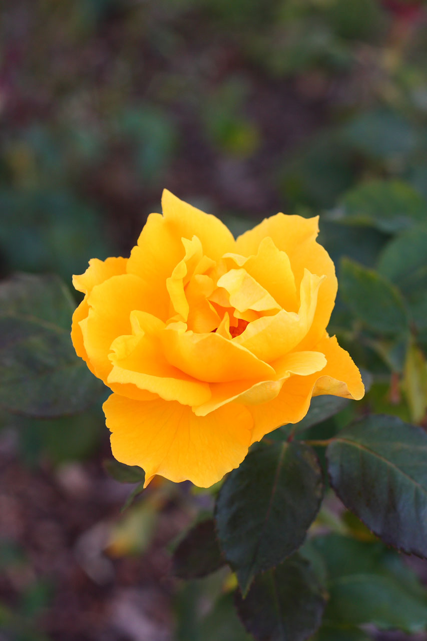 Yellow rose bloom