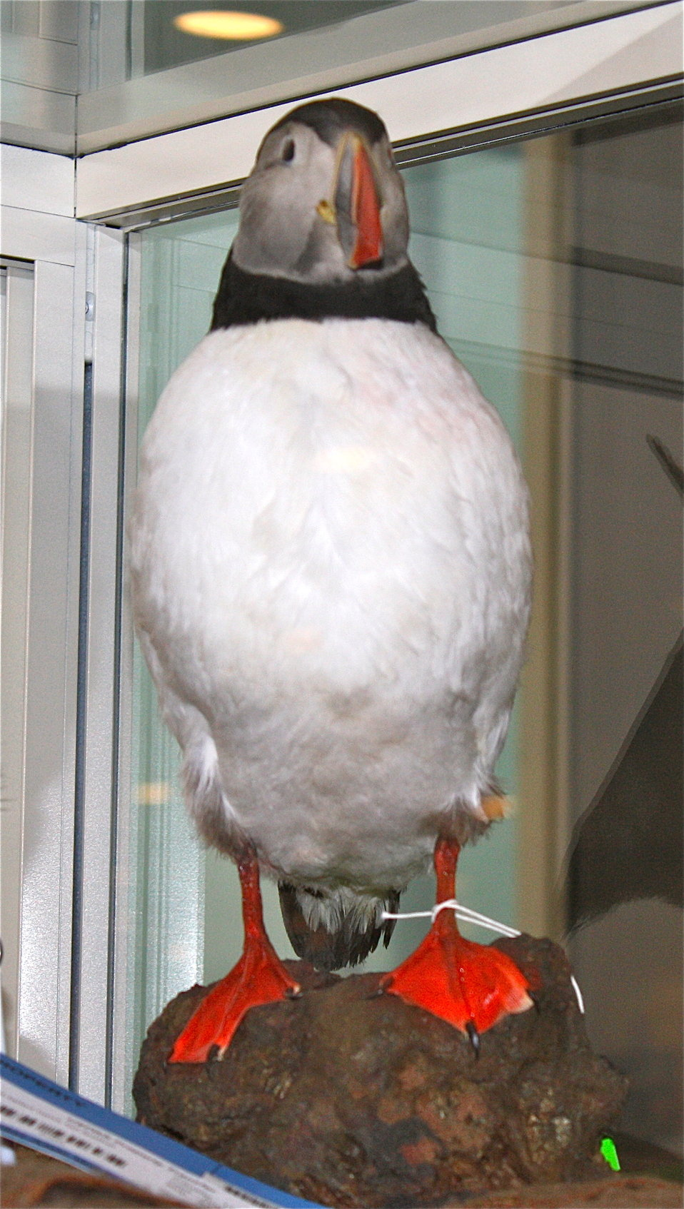 Mounted Puffin