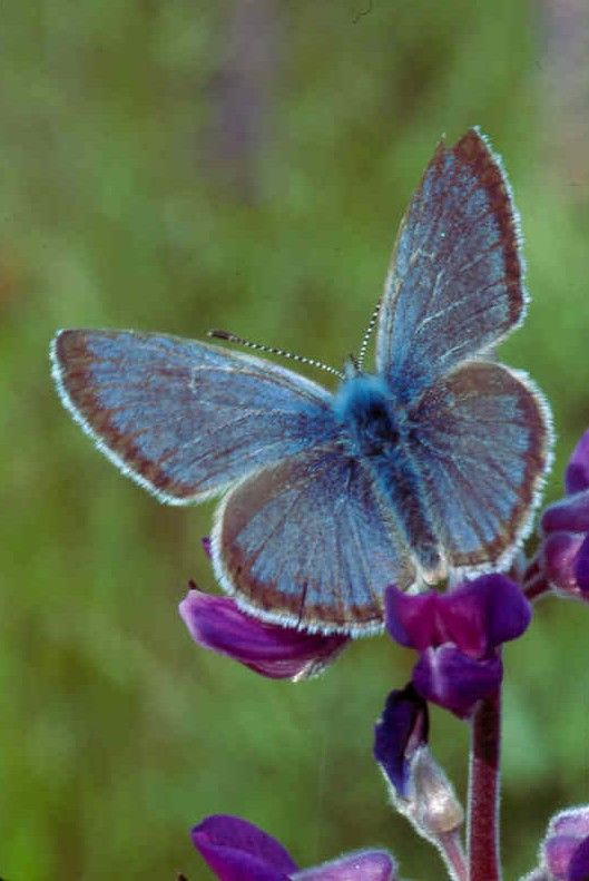 Willamette Valley Fender's Blue Butterfly
