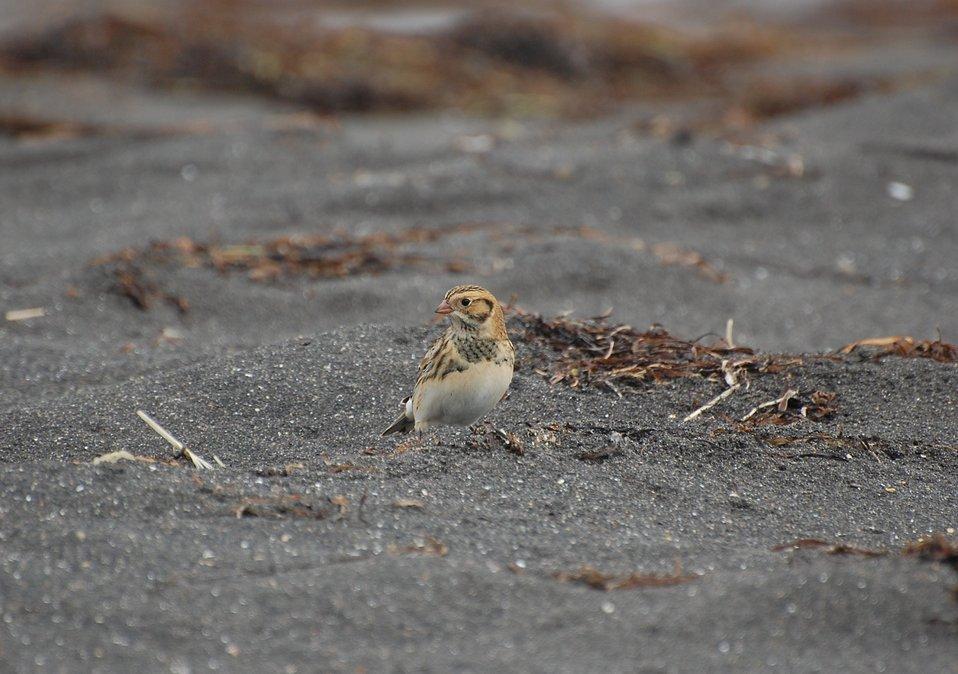 Juvenile Lapland Longspur