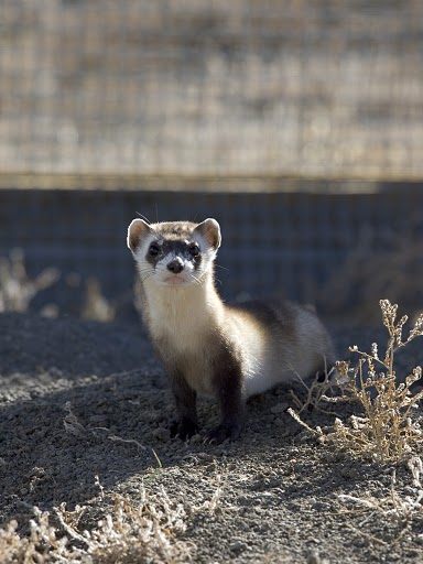 Black-footed Ferret in Pen