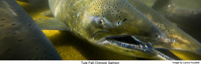 Tule Fall Chinook Salmon