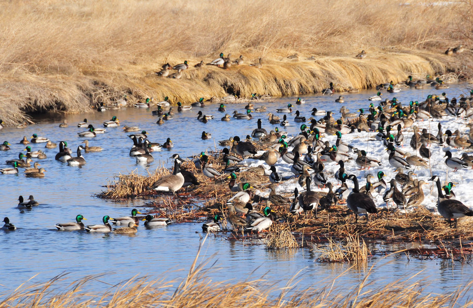Mallards on Lacreek National Wildlife Refuge